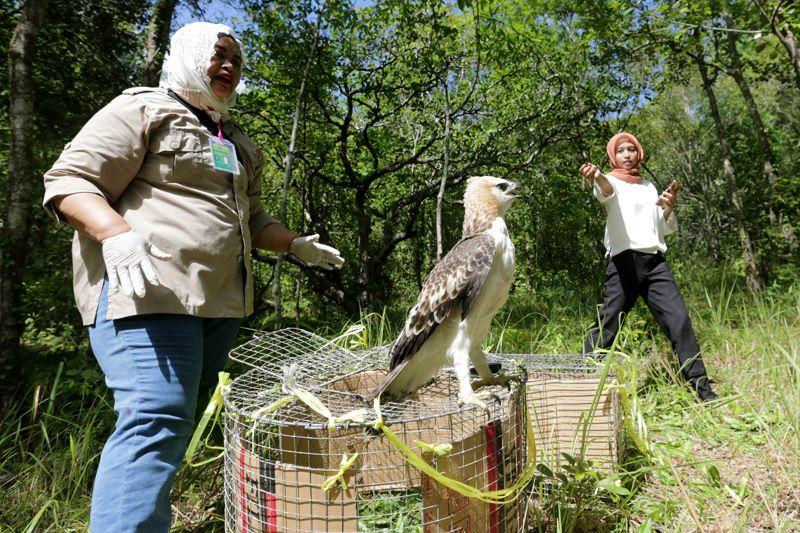 BKSDA melepasliarkan dua ekor elang di Tahura Bunder