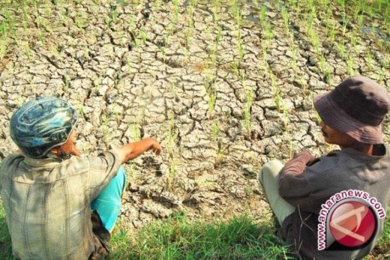 Musim kemarau, petani keluhkan saluran irigasi yang tidak kunjung diperbaiki