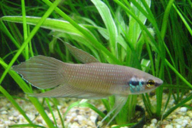 Harganya tinggi, Ikan cupang hias berpotensi tingkatkan perekonomian masyarakat