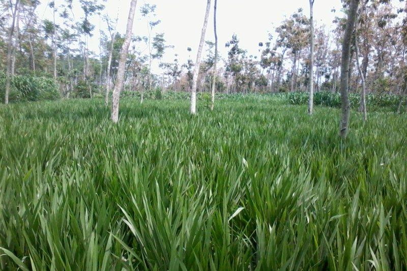 Optimalisasi lahan kosong untuk pakan ternak