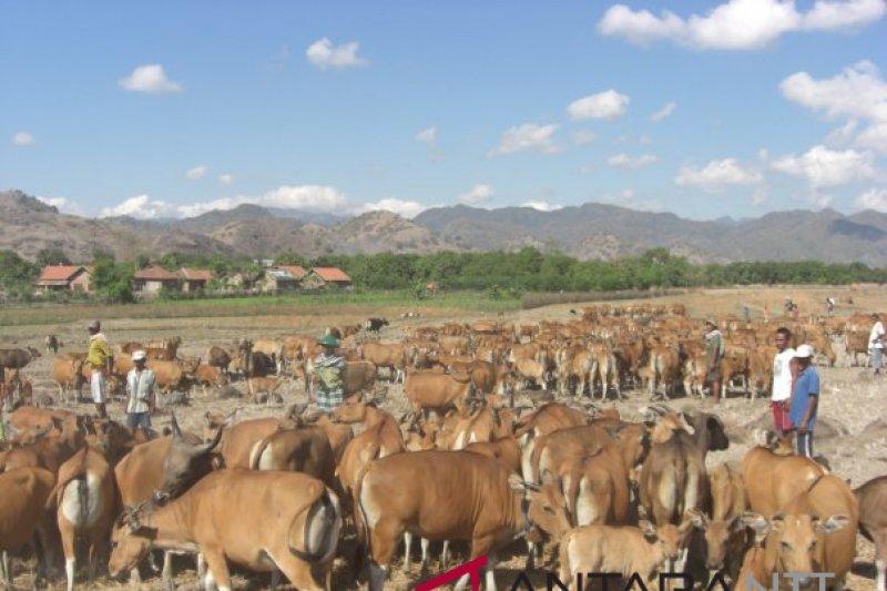 NTT targetkan populasi ternak sapi sampai dua juta ekor