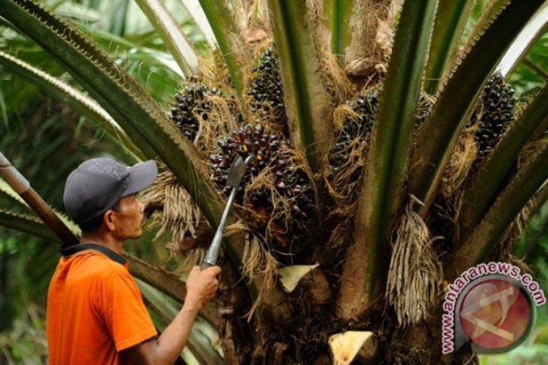 WWF Indonesia dampingi petani sawit sertifikasi RSPO