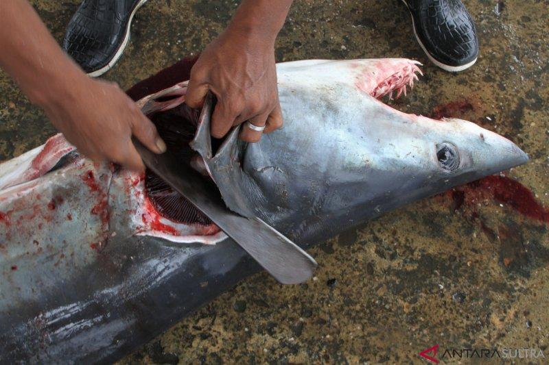 Tangkapan Ikan Hiu