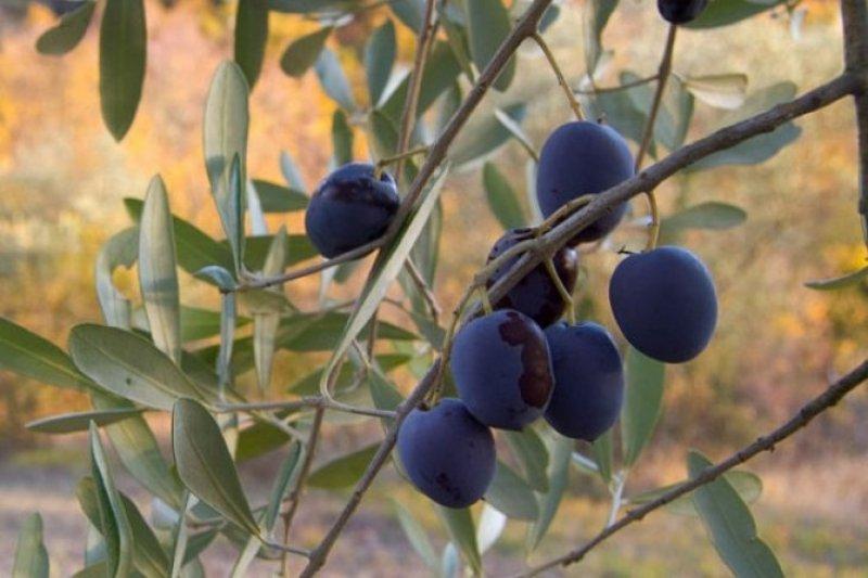 Pohon Zaitun-Almond dekat Nablus dicuri pemukim Yahudi