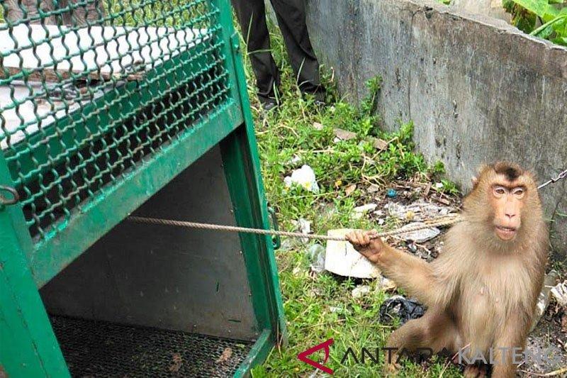 BBKSDA evakuasi dua ekor beruk terlantar dari kawasan wisata