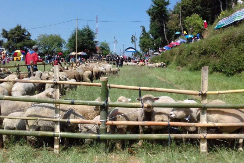 Pengamat: Wol domba Batur bisa menjadi ikon pariwisata