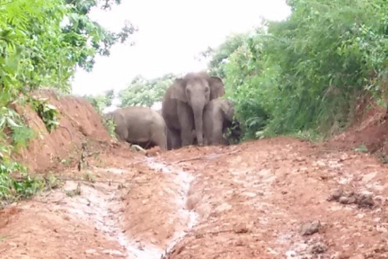 Cara warga menggiring kawanan gajah kembali ke hutan