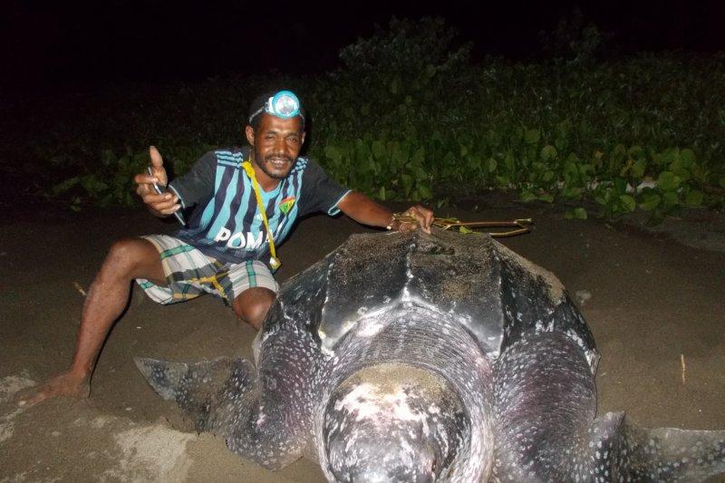 Lima penyu belimbing raksasa bertelur di Pantai Warebar Raja Ampat