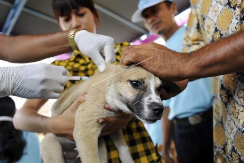 239 anjing di wilayah Cianjur sudah diberi vaksinasi rabies