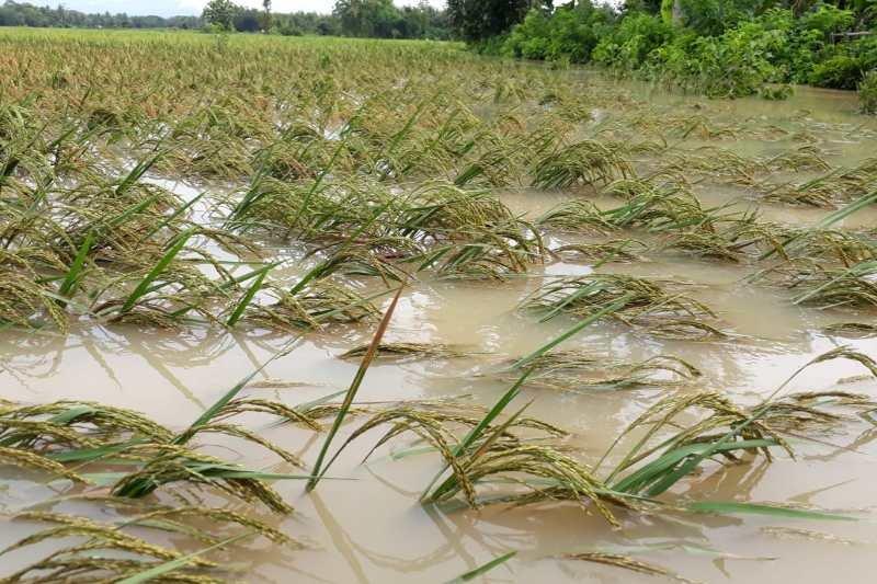 Petani korban banjir Purworejo bakal dapat asuransi dan bibit gratis