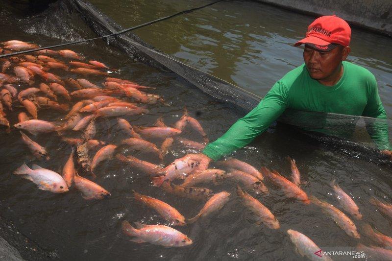 Babinsa Musirawas budidayakan ikan nila dan  lele