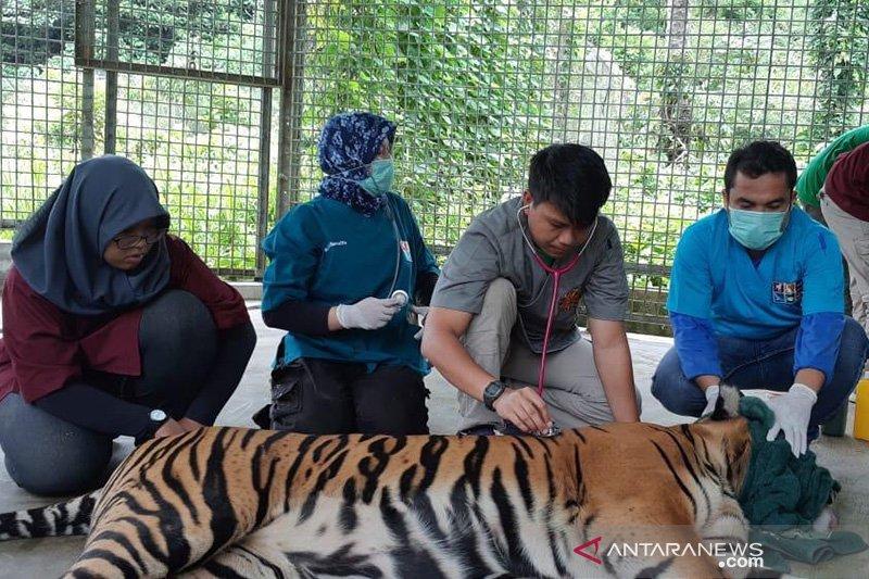 Luka parah harimau Sumatera yang terjerat mulai pulih