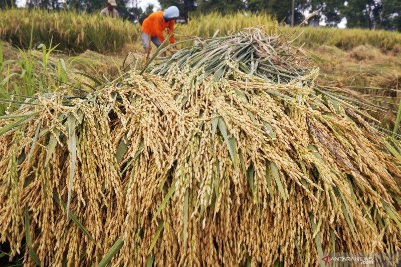 Masuki musim panen, harga gabah di Lampung  malah turun