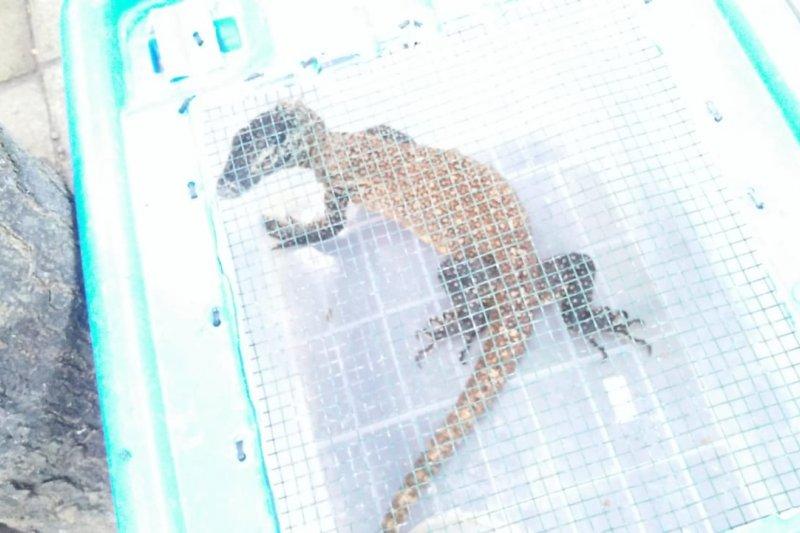 Komodo yang diperdagangkan kemungkinan dari Riung