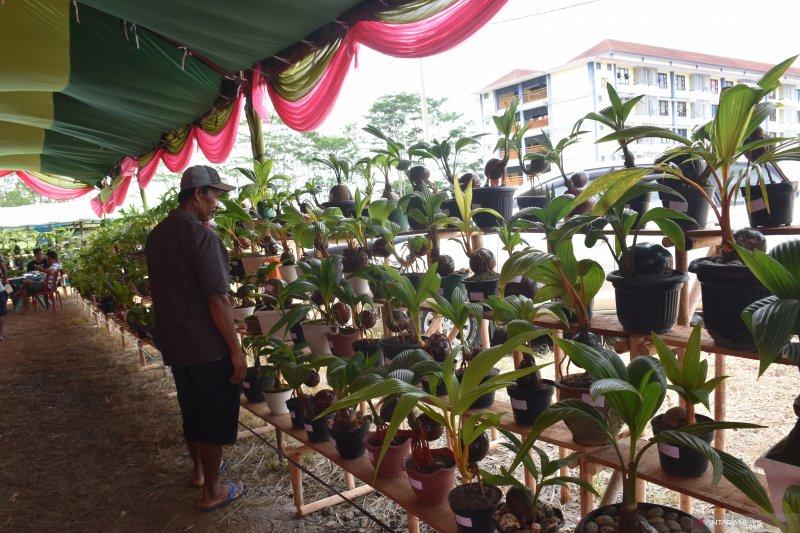 Festival Bonsai Kelapa Antara News Lampung