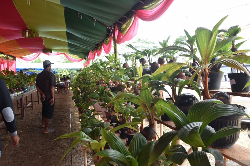 Komunitas Bonsai Kelapa Siap Pecahkan Rekor Muri Antara News Lampung