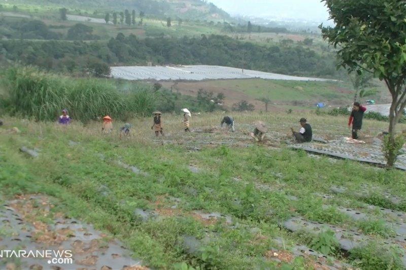 Lahan penanaman bawang putih di Sukabumi ditambah 1.000 ha