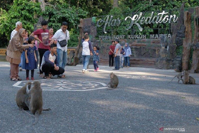 Warga Tabanan Bali bergiliran beri makan 1.500 ekor monyet terancam kelaparan akibat wisatawan sepi