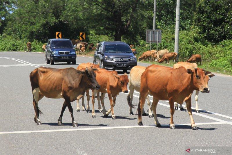 Bantuan sapi perah untuk atasi kekerdilan di Timor Tengah Utara