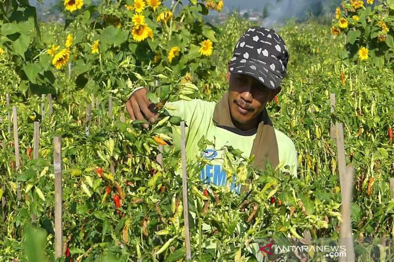 Harga cabai tingkat petani terjun bebas jadi Rp10.000/kg
