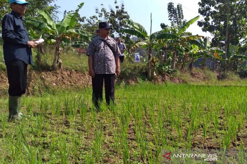 300 hektare tanaman padi di Banyumas kekeringan