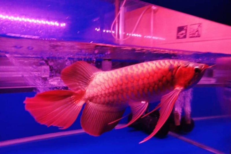 Kontes arwana super red Kapuas Hulu