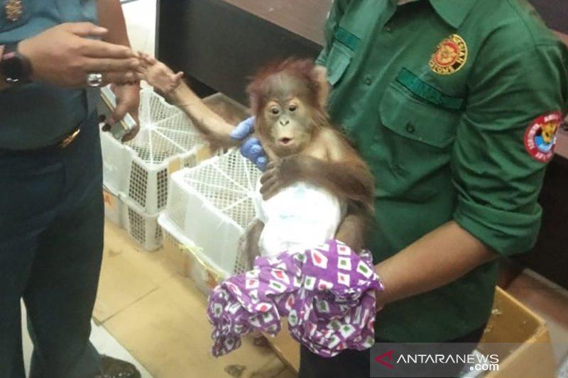 Bea Cukai Dumai gagalkan penyelundupan orangutan dan musang