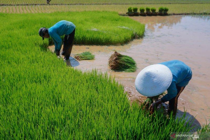 INDEF: Pemerintah perlu bibit unggul  agar hasilkan 85 juta ton padi