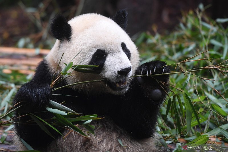 Panda raksasa kini bisa dilihat TSI Cisarua
