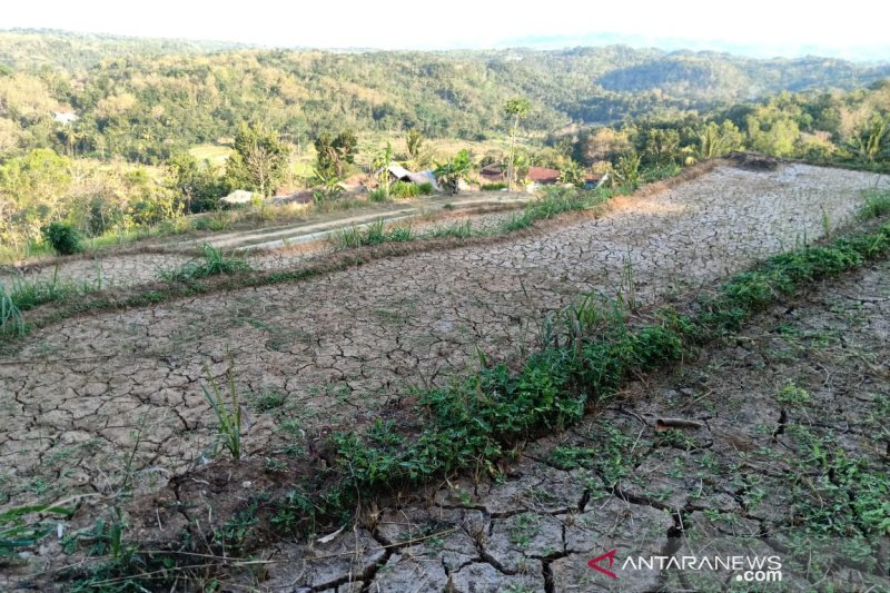 Sebanyak 93 hektare tanaman padi di Bantul puso akibat kekeringan