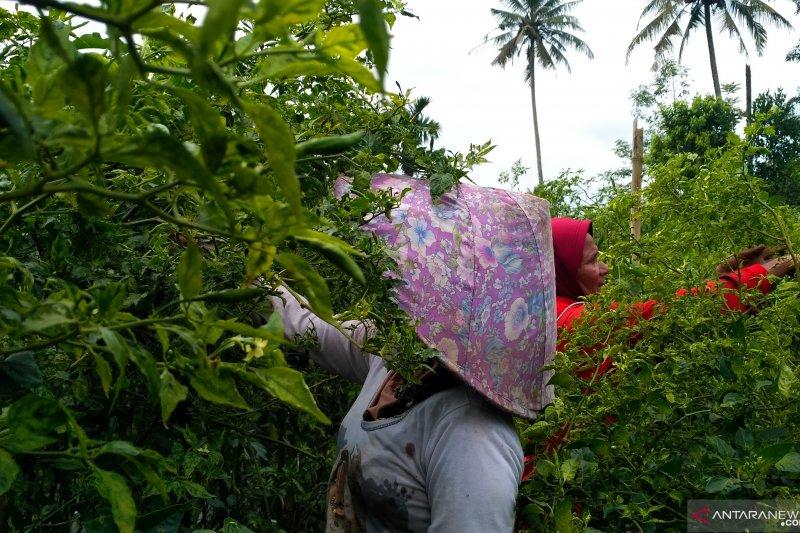 Petani Solok Selatan girang harga jual cabai rawit naik