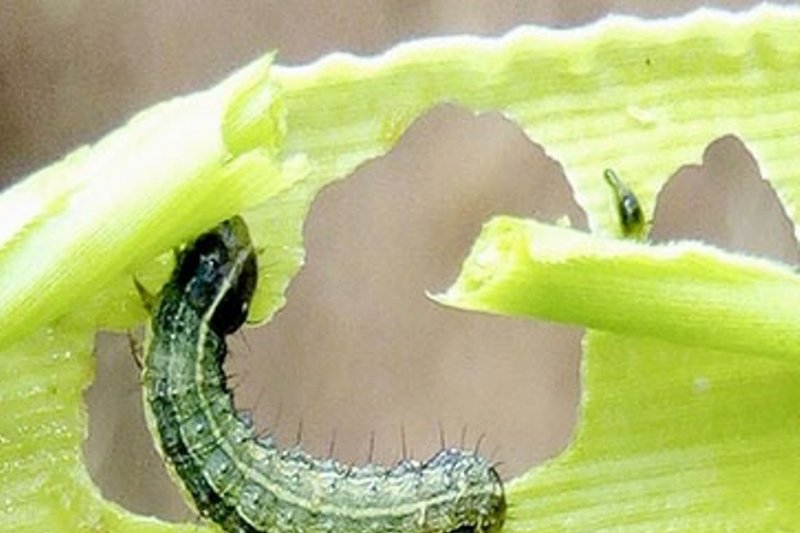 Ulat grayak jadi bencana bagi petani jagung di NTT