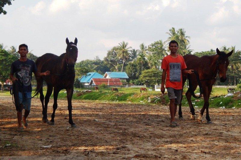 Mengintip rahasia perawatan kuda pacu Payakumbuh