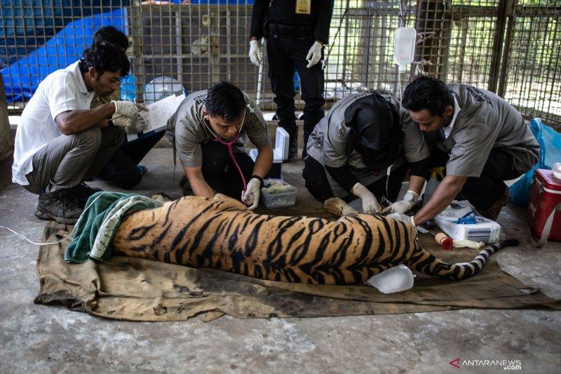 BBKSDA Riau: kronologi serangan harimau di Indragiri Hilir
