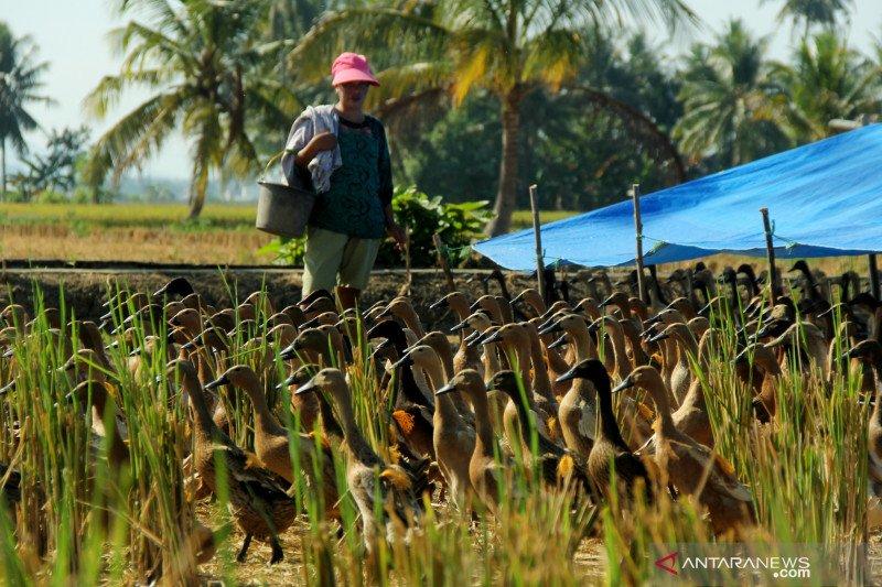 Pemkab Musi Banyuasin akan bagikan 2.400 itik ke peternak