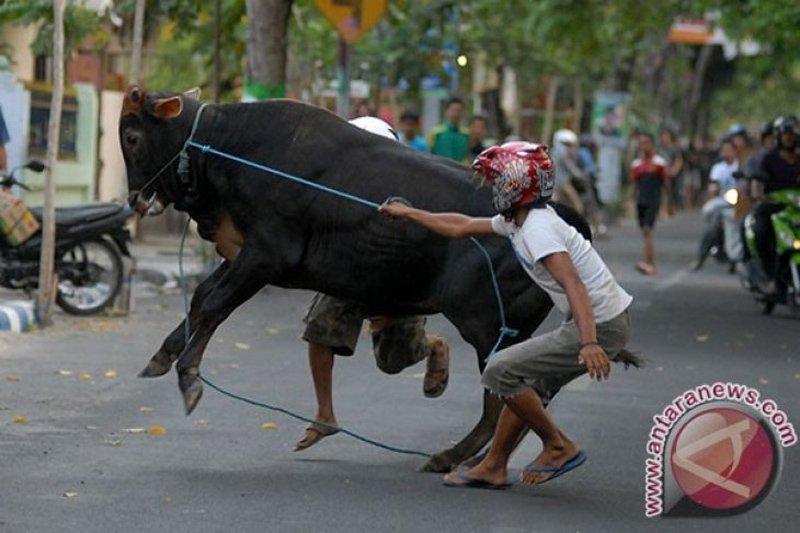 Bagaimana atasi hewan kurban mengamuk? Begini caranya