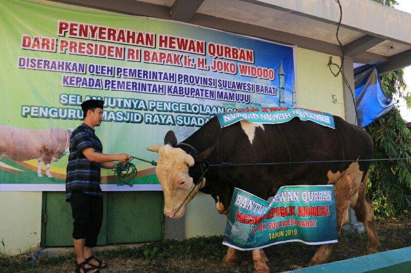 """Sapi """"Tyson"""" dari Presiden Jokowi disembelih di Masjid Raya Mamuju"""