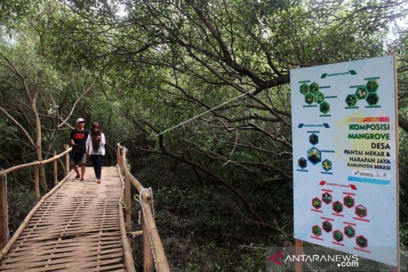 Ratusan mangrove Bekasi terancam mati akibat hama