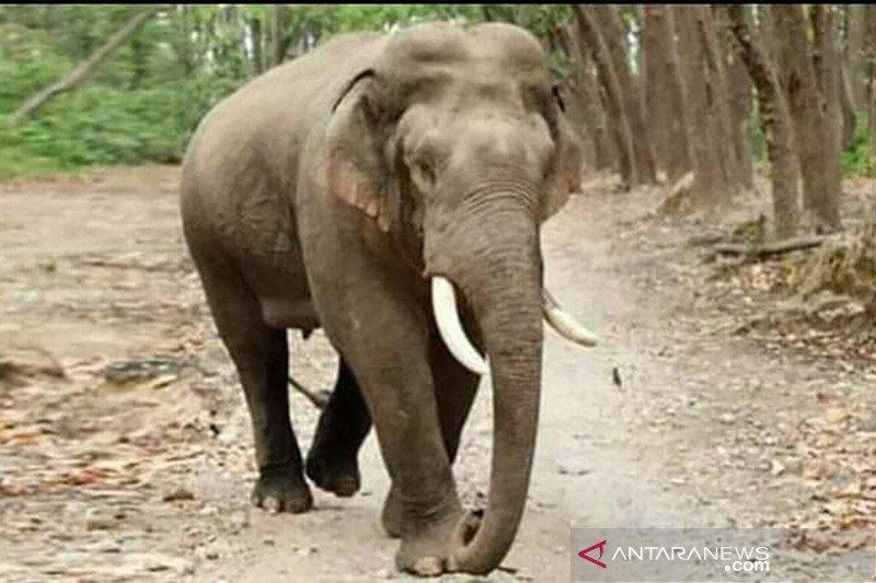 Konflik gajah Sumatera dengan manusia di Riau meningkat akibat kebakaran Tesso Nilo
