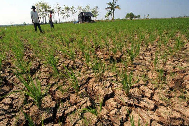 Produksi petani di Pulang Pisau menurun selama musim kemarau