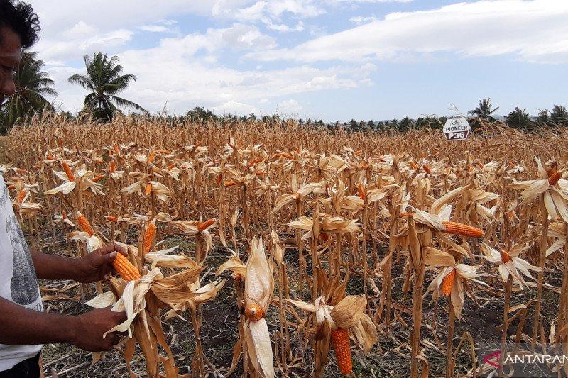 Hasil panen jagung turun akibat kemarau