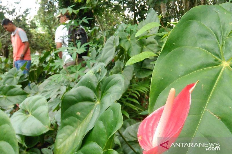 Warga Padang beli tanaman hias ke Padang Panjang, capai 5.000 tangkai sepekan