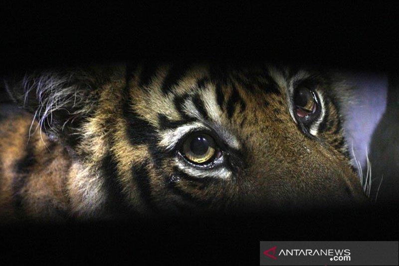 Pemerintah daerah dukung Konservasi Harimau Sumatera