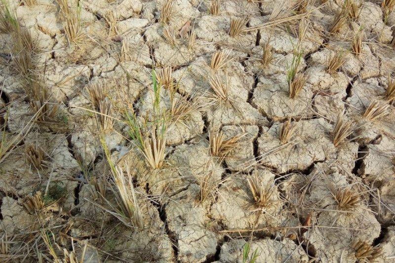 Sebanyak 161 hektare sawah  Minahasa Tenggara  alami kekeringan