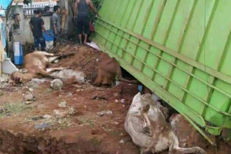 Truk bermutan sapi terguling di Jalinpatim Lampung Timur