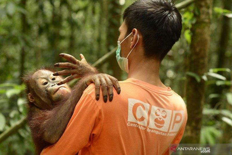 Belasan Orangutan di Nyaru Menteng terserang ISPA