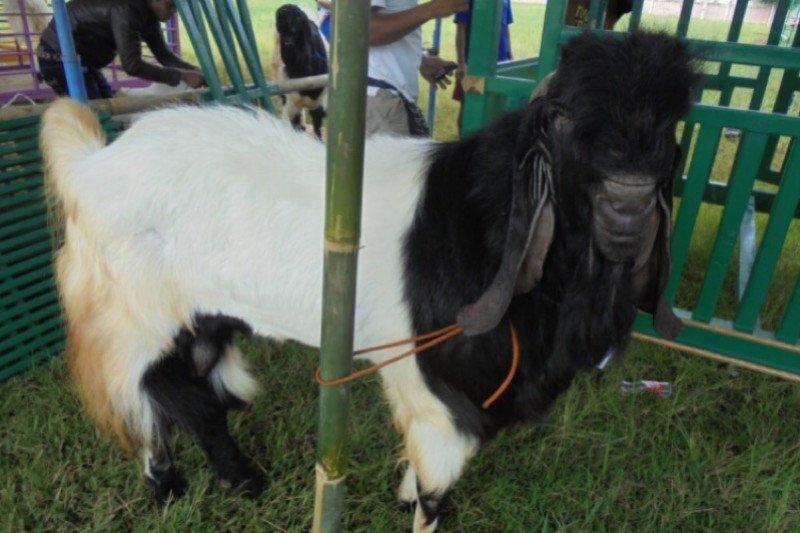 Kontes kambing Kaligesing bakal digelar di Banjarnegara