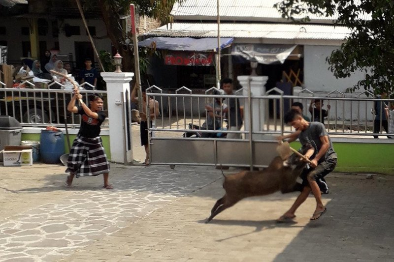 Babi hutan masuk area masjid, satu pemuda diseruduk