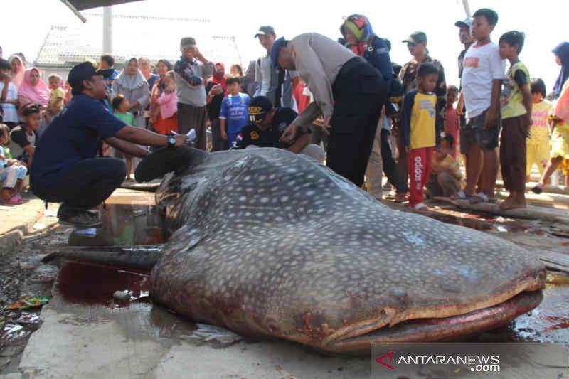 Hiu paus ditemukan mati di Cirebon