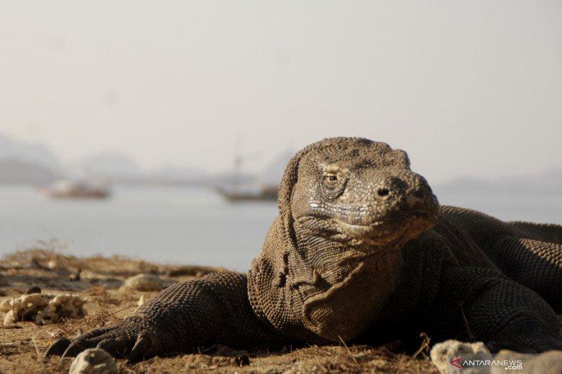 Pengunjung Pulau Komodo dibatasi hanya 50.000 wisatawan per tahun